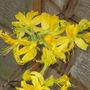 yellow azalea (azalea luteum)