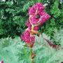 Rheum 'Tanguticum' (Rheum palmatum (Chinese rhubarb))