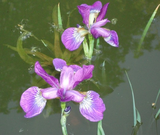 Iris Sibirica in my pond (Iris sibirica (Siberian iris))