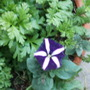 Purple petunia with white stripes
