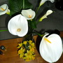 Calla Lilies and Dafodils
