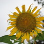Last years Sun Flower