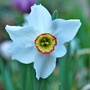 Narcissus Pheasant&#x27;s Eye... (Narcissus poeticus (Poet&#x27;s Daffodil) Recurvus.)
