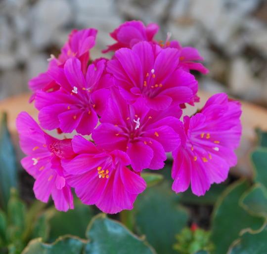 Lewisia Deep Pink... (Lewisia cotyledon Deep pink.)