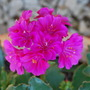 Lewisia Deep Pink... (Lewisia cotyledon Deep pink.)