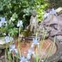 Siberian [water] Iris 06.08 (Iris sibirica)