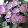 Pink and White African Violet