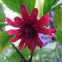 Illicium_floridanum_2011