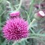 Cirsium_rivulare_atropurpureum_2011