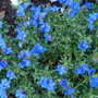Heavenly blue alpine (Lithodora diffusa)