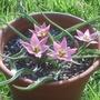 Tulipa_aucheriana_2