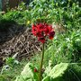 Primula on the edge of the old pond now filled in