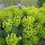 Euphorbia Wulfenii (Euphorbia Wulfenii)