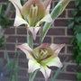 Gladiolus tristis - 2011 (Gladiolus tristis)