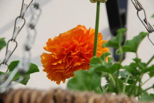 A garden flower photo (Ranunculus)