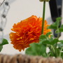 A garden flower photo (Ranunculus)
