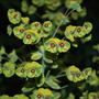 Euphorbia Ascot Rainbow. (Euphorbia x martinii Ascot Rainbow.)