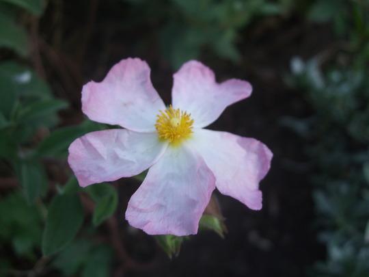 Cistus 'Silver Pink' (Cistus)