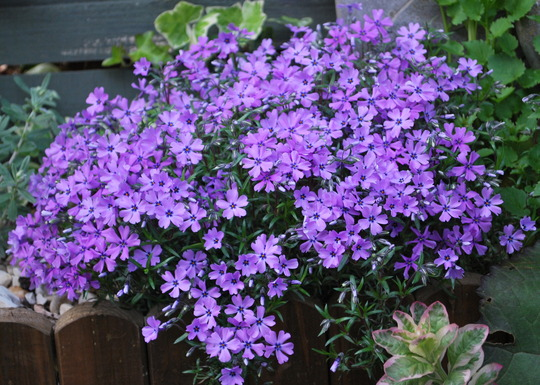 Phlox... (Phlox subulata  Purple Beauty.)