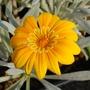 "Gazania ""Bicton Orange"" (Gazania heterochaeta)"