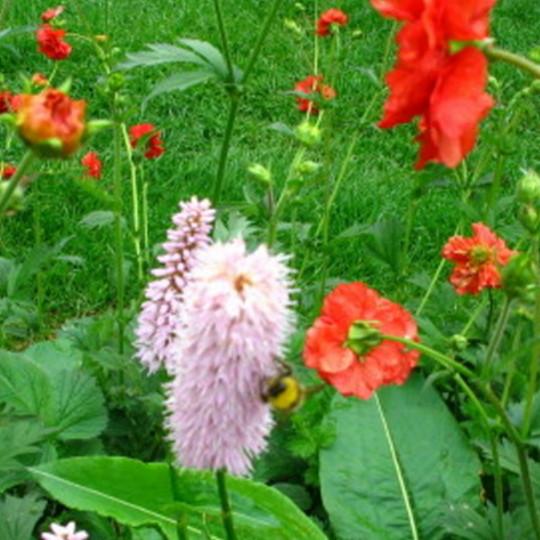 Persicaria and geum (Persicaria bistorta)