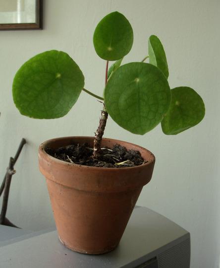 Pilea peperomioides (Pilea peperomioides)