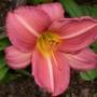 Daylily.1b
