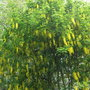 Laburnum Vossii. This is a whole month earlier its always flowered in the middle of May before (Laburnum vossii)