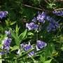 Hyacinthoides non-scripta  English Bluebells  (Hyacinthoides non-scripta - Bluebells)