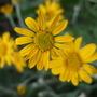 Eriophyllum_lanatum