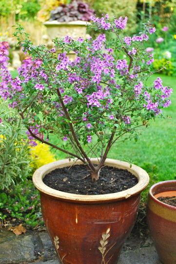 Prostanthera..... (Prostanthera rotundifolia)