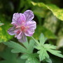 Hardy_geranium