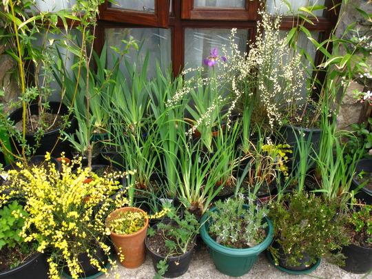 A few Irises