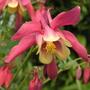 Aquilegia canadensis Pink & Cream (Aquilegia canadensis (Canadian Columbine))
