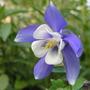 Aquilegia canadensis Blue & White (Aquilegia canadensis (Canadian Columbine))