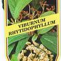 Viburnum_rhytidophyllum_1