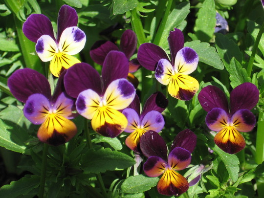 johnny jump ups (viola odorata, viola tricolor, viola cornuta)