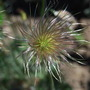 Pulsatilla gone to seed.