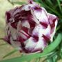 Ap1010036_tulip_carnaval_de_nice_edit._photo.