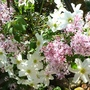 Scented Lilac under my garden arch ... mingled with Clematis
