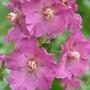 Pink Verbascum (Verbascum)