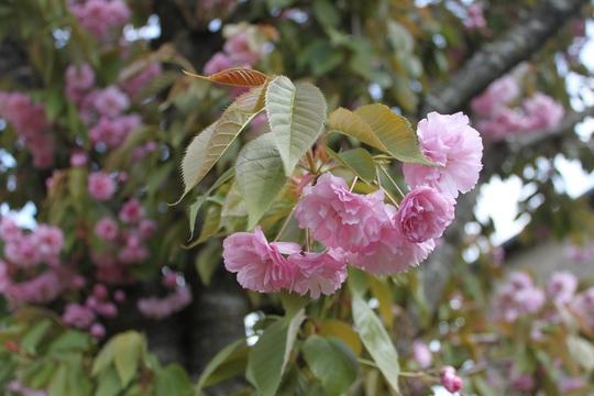 Sakura, after a hard pruning (Prunus serrulata)