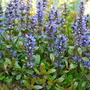 Ajuga Valfredda. (Ajuga reptans (Bugle) Valfredda.)