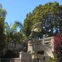 Archontophoenix cunninghamiana - King Palms and giant Podocarpus gracilior - Fern Pine (Archontophoenix cunninghamiana - King Palms, Podocarpus gracilior - Fern Pine)
