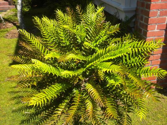 Cyrtomium falcatum - Holly Fern (Cyrtomium falcatum - Holly Fern)