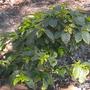 Coffea arabica - Very Young Coffee Tree  (Coffea arabica - Very Young Coffee Tre)