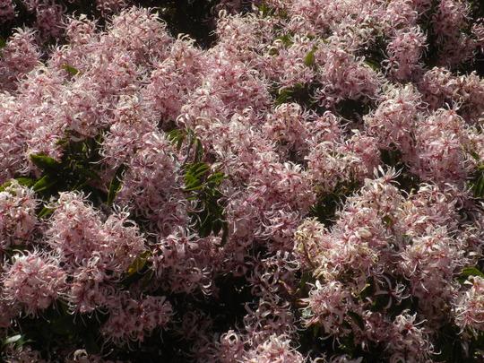 Calodendron capense - Cape Chestnut Flowers (Calodendron capense - Cape Chestnut)