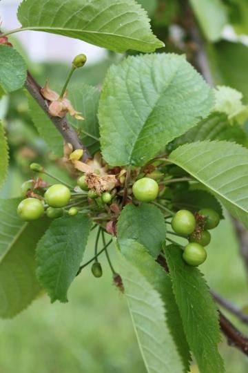 We were flowers too (Prunus avium (Wild cherry))