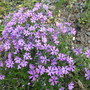Phlox subulata purple beauty (Phlox subulata (Moss Phlox))