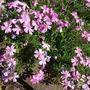 Phlox subulata marjorie (Phlox subulata (Moss Phlox))